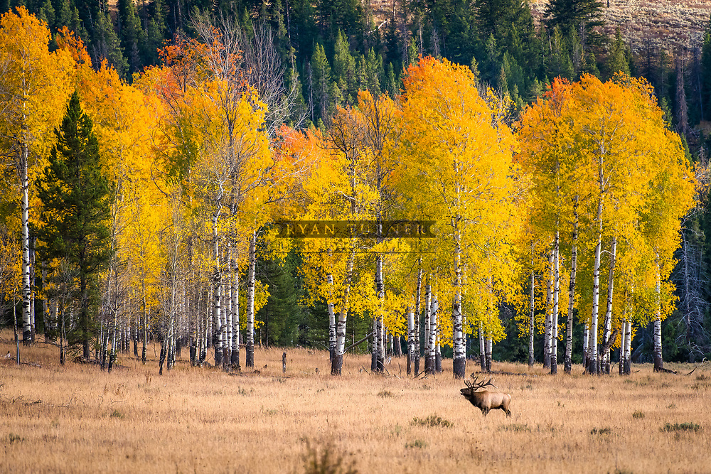 A big bull elk bugles in a meadow along a grove of aspens in Teton National Park.  Limited Edition - 75