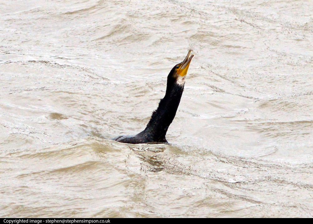 © Licensed to London News Pictures. 29/01/2013. Westminster, UK A Cormorant catches and eats a fish in the River Thames next to Westminster Bridge this afternoon, 29th January 2013. Photo credit : Stephen Simpson/LNP
