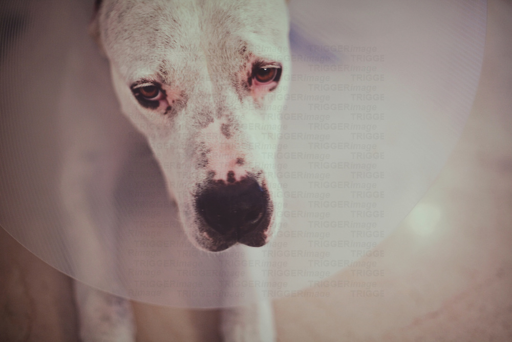 a very sad dog looks into the camera wearing a cone of shame