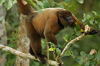 Poeppig's Woolly Monkey  (Lagothrix poeppigii) at the Tiputini Biodiversity Station, Orellana Province, Ecuador<br />
