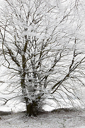 Hoar frost on beech trees in woodland near Birdlip on a snowy winter's morning. Fagus sylvatica