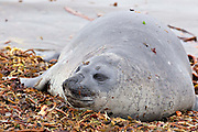 Female southern elephant seal on kelp bed in Falkland Islands