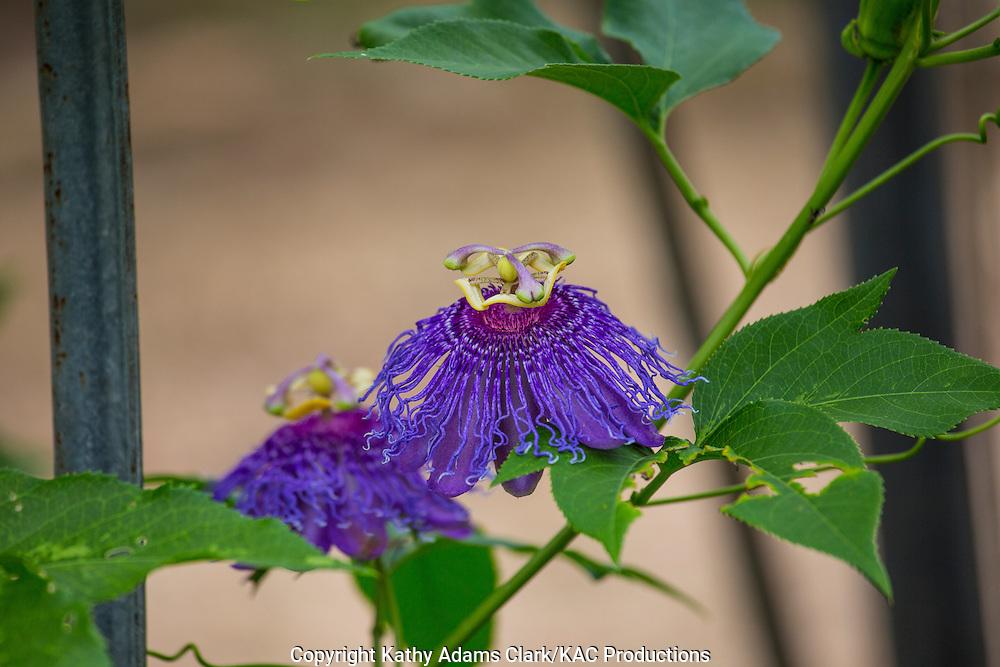 Purple passionflower, Passiflora incarnata, Garden, Houston, late summer, Texas.