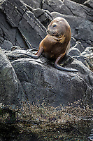 South American Sea Lion colony lounges around on the rocks surrounding the Les Eclaires Lighthouse in the Beagle Channel, near Ushuaia.