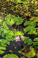 Flor no lago do Parque Malwee. Jaraguá do Sul, Santa Catarina, Brasil. / Flower in the lake of Malwee Park. Jaragua do Sul, Santa Catarina, Brazil.