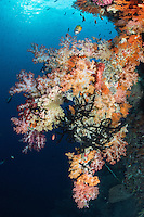 Soft Corals and Butterflyfish on a reef wall, with the morning sun above<br /> <br /> Shot in Indonesia