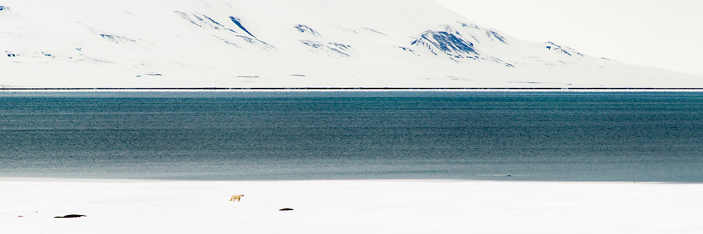 Polar bear walks along the sea ice edge in Van Mijenfjorden on Svalbard.