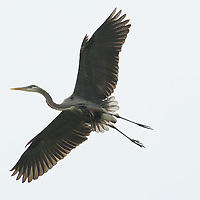 A great blue heron glides through the air at its nesting site, also known as a rookery, along the Kentucky river palisades near Shaker Village at Pleasant Hill, Ky., on Friday, May 13, 2011. Shaker Village is offering two wildlife cruises to the blue heron rookery aboard their Dixie Belle paddleboat this spring.