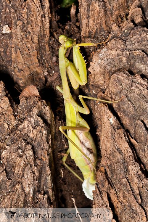 Carolina Mantis (Stagmomantis carolina)<br /> TEXAS: Bastrop Co.<br /> Stengl Lost Pines Biological Station<br /> 27-Oct-2011 N30.07261 W97.16118<br /> J.C. Abbott #2563
