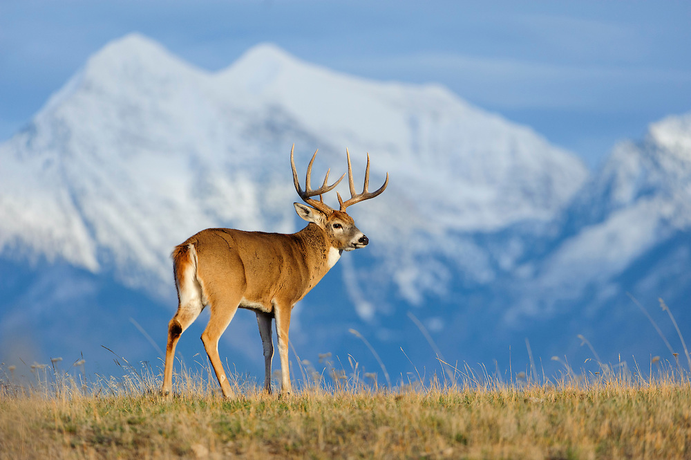 A white-tailed buck stands in front of snow capped mountains, Western US