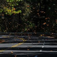 """Temascaltepec, México.- Millones de Mariposas Monarca """"Danaus Plexippus"""" vuelan sobre la carretera que lleva a Valle de Bravo en las cercanias del Santuario de Piedra Herrada, donde hibernan tras el fenomeno migratorio en el que viajan mas de 5 mil kilometros desde la region de los grandes lagos en Canada.<br /> Las mariposas llegan a México desde el mes de noviembre, a la biosfera de conservacion, en los estados de México y Michoacán donde permanecen hasta finales del mes de Marzo. Agencia MVT / Mario Vázquez de la Torre."""