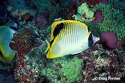 spot-nape butterflyfish, Chaetodon oxycephalus, feeding on tentacles of giant anemone, Heteractis magnifica, after coral die-off, Maha Thila, near Helengeli, Maldives ( Indian Ocean )