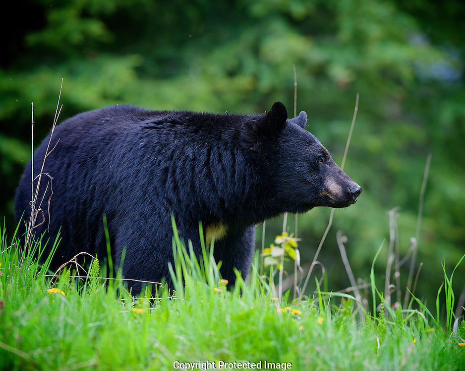 Black Bear. (Ursus americanus), British Columbia, canada,