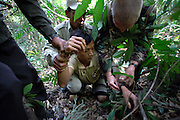 Whilst on a patrol a group comprising of park rangers and Cambodian soldiers catch a worker of an illegal sassafras oil distillery. He is a Vietnamese national sent to work here from Phnom Penh. After being pinned to the ground, he is searched and hand-cuffed. Sassafras distilleries that produce the oil from rare Mreah Prew Phnom trees have become a real problem in this area but difficult to stop due to the remoteness of the forest and the high demand and profitablility as the oil can be used as an ingredient for the drug Ecstasy. The Cardamom Mountains and surrounding forests is the largest and most pristine area of intact forest in SE Asia. Covering an area of 2.5 million acres it became one of the last strong holds of a retreating Khmer Rouge. Their presence helped preserve the forest as no-one dared to venture inside. But with the Khmer Rouge gone, it faces new dangers from poachers, loggers and illegal drug factories. In charge of protecting this vast forest are a handful of rangers who's job it is to track down and arrest those who are helping to destroy this delicate habitat.