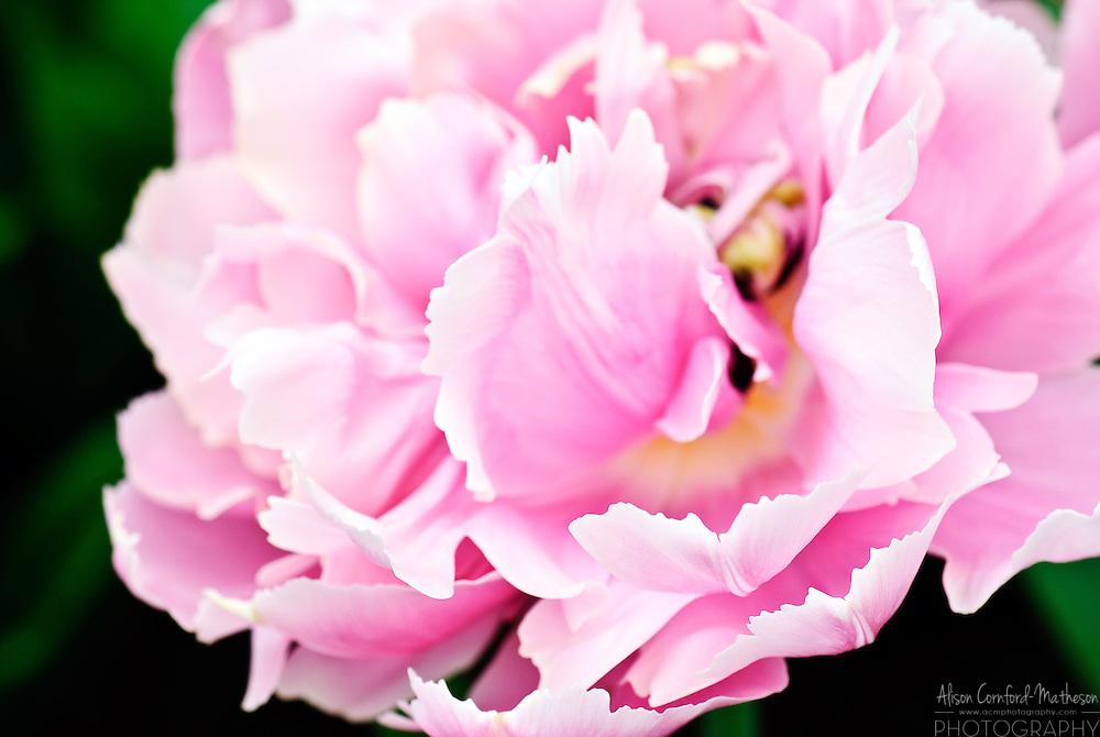 Double Late Tulip 'Pink Star' Keukenhof Spring Tulip Gardens, Lisse, The Netherlands.