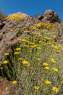 Yellow Spiney Astor and Brittle bush bloom in the Senora Desert