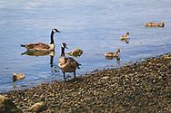 Family of Canadian Geese - Gilmur Shoreline - NE Tacoma, WA