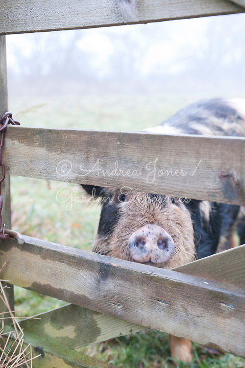 Broadwoodside Pig<br /> Courtesy Mr and Mrs R Dalrymple