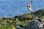 Atlantic Puffin -  Fratercula arctica coming in for a landing being held up by the wind