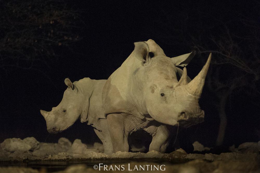 White rhinoceros with calf visiting waterhole at night, Ceratotherium simum, Ongava Game Reserve, Namibia
