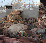Detail showing corner of the raw skins, Chouara Tannery, Fez, Morocco, pictured on February 25, 2009 in the evening. The Chouara tannery is the largest of the four ancient tanneries in the Medina of Fez where the traditional work of the tanners has remained unchanged since the 14th century. It is composed of numerous dried-earth pits where raw skins are treated, pounded, scraped and dyed. Tanners work in vats filled with various coloured liquid dyes derived from plant sources. Colours change every two weeks, poppy flower for red, mint for green, indigo for blue, chedar tree for brown and saffron for yellow. Fez, Morocco's second largest city, and one of the four imperial cities, was founded in 789 by Idris I on the banks of the River Fez. The oldest university in the world is here and the city is still the Moroccan cultural and spiritual centre. Fez has three sectors: the oldest part, the walled city of Fes-el-Bali, houses Morocco's largest medina and is a UNESCO World Heritage Site;  Fes-el-Jedid was founded in 1244 as a new capital by the Merenid dynasty, and contains the Mellah, or Jewish quarter; Ville Nouvelle was built by the French who took over most of Morocco in 1912 and transferred the capital to Rabat. Picture by Manuel Cohen.