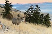 Mule Deer Buck (Odocoileus hermionus), Western North America