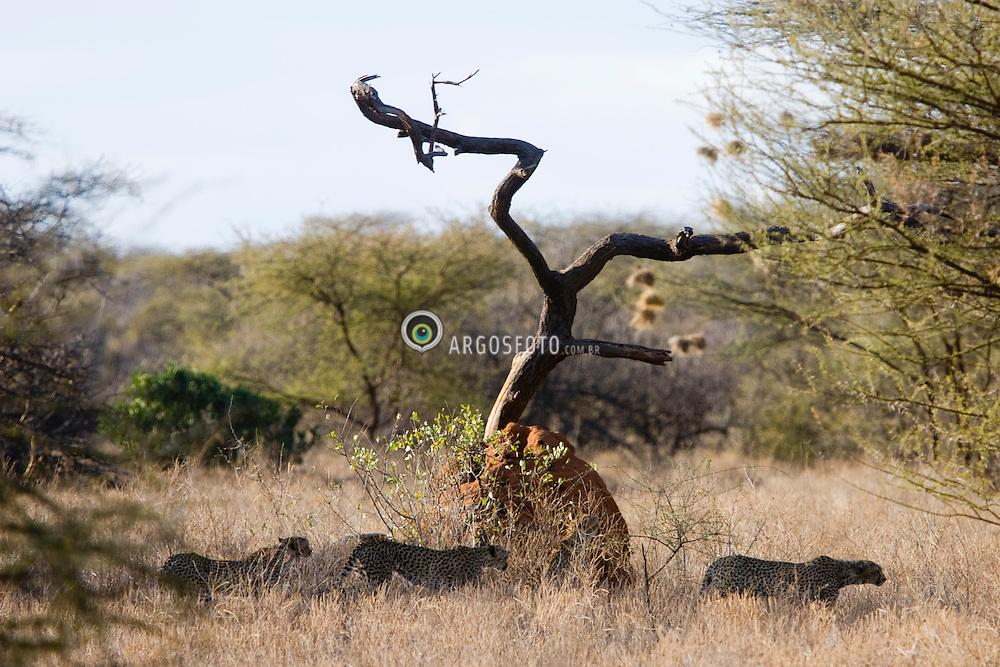 Cheetah hunting. It is the fastest of all land animals. Samburu National Reserve, is located on the banks of the Ewaso Ng'iro river in Kenya; Africa. There is a wide variety of animal and bird life seen at Samburu National Reserve / Guepardo cacando em Samburu, localizado no Rift Valley, no Quenia. Eh um dos grandes parques nacionais do Quenia, na Africa importante refugio de vida selvagem