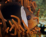 A specimen of Tomato Clownfish (Amphiprion cf. frenatus) that shows atypical colors with a almost vbrown body and light brown (nearly white) tail. It could theoretically be a hybrid.  let us know if you have any comments on this specimen, please.