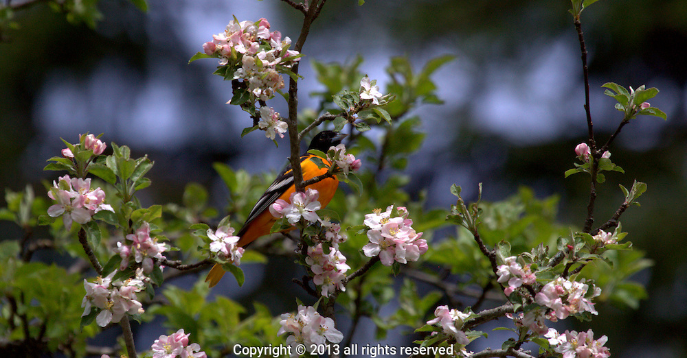 BALTIMORE ORIOLE GONE TO HEAVEN, DORSET, VT