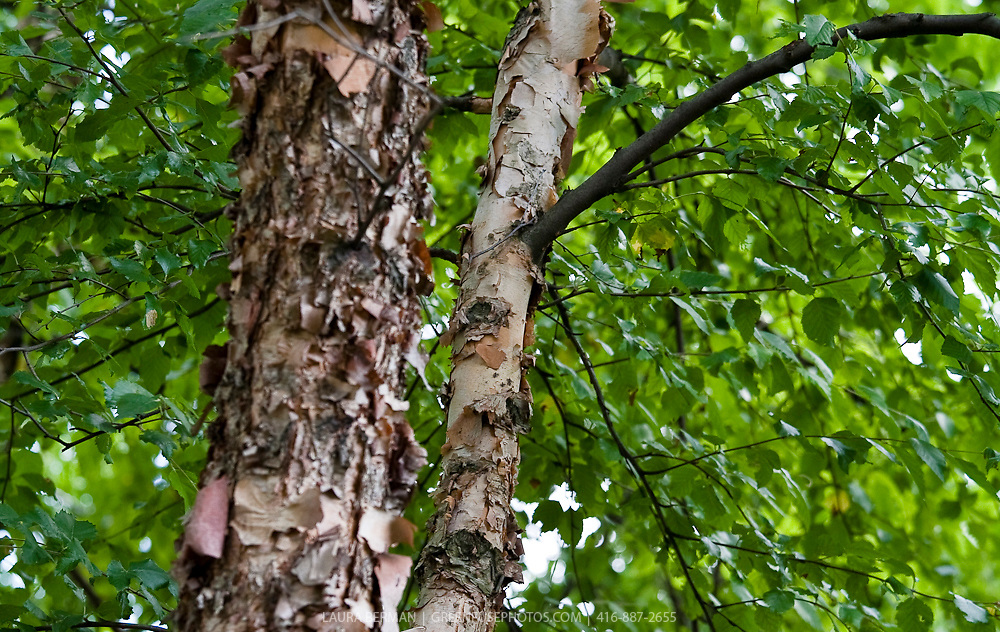The colorful peeling bark  and leaves of River or Water Birch (Betula nigra) a North American native deciduous tree.