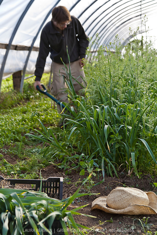 The spring garlic harvest at Plan B Organic Farms in Ontario, Canada.