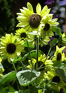 """Sunflowers are on display at a preview of the Philadelphia Flower Show, Saturday, March 2, 2002, in Philadelphia, Pa. The Philadelphia Flower Show runs from March 3-10, and is the largest indoor flower show in the world. This years theme is """"The Pleasures of the Garden."""" (Photo by William Thomas Cain/photodx.com)"""