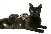 Mother cat feeding 3 of her kittens on white background