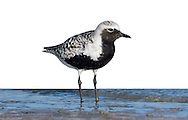 Black-bellied Plover Pluvialis squatarola Adult summer plumage