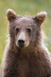 Detailed view of a North American brown bear / coastal grizzly bear (Ursus arctos horribilis) female cub, Lake Clark National Park, Alaska, United States of America