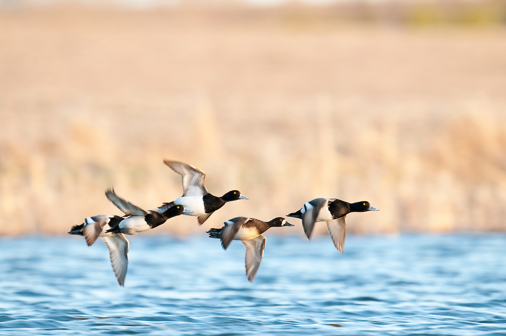 Lesser Scaup, Aythya affinis, males & female, Day County, South Dakota