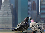 Two amorous pigeons at the Brooklyn Heights promenade overlooking lower Manhattan