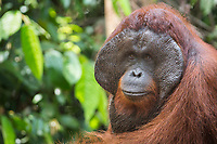 Portait of a wild, dominant male Bornean orangutan (Pongo pygmaeus) in Tanjung Puting National Park, Indonesia.
