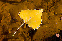 Cottonwood leaf floating in water Zion National Park Utah USA
