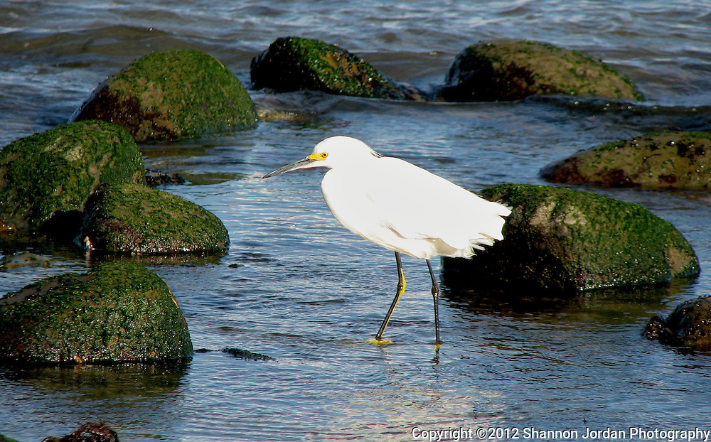 A snowy Egret hunts for food in the waters of Santa Barbara. The central coast of California is one of the most scenic areas of the United States. The natural beauty and wildlife are abundant and breathtaking. You can find more than 200 species of birds, both land and sea birds, on this scenic and spectacular stretch of California..The National Audubon Society lists Morro Bay and the central coast of California, including Santa barbara as a Globally Important Bird Area. Thousands of migratory birds spend part of the year here..Shorebirds such as marbled godwits, willets, curlews with their long curved bills and tiny sandpipers find a bountiful feast in the mudflats of the estuary at Morro Bay. Black brant geese migrate from spots on the Alaskan shore to feed on the rich eelgrass beds. Fluttering terns, brown pelicans, graceful egrets and herons are also part of the seasonal mix...