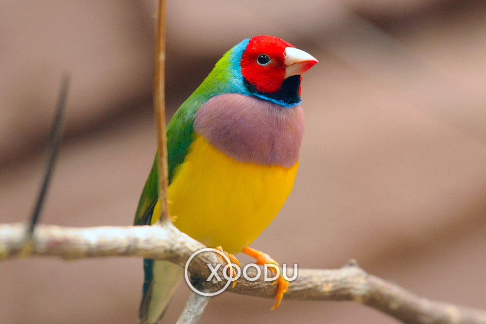 Bird gouldian finch, Berlin, Germany (June 2007)
