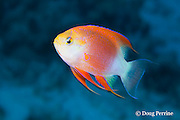 Hawaiian longfin anthias, Pseudanthias hawaiiensis (formerly Pseudanthias ventralis hawaiiensis ), male, endemic to Hawaiian Islands, Honaunau, Kona, Hawaii ( Central Pacific Ocean )