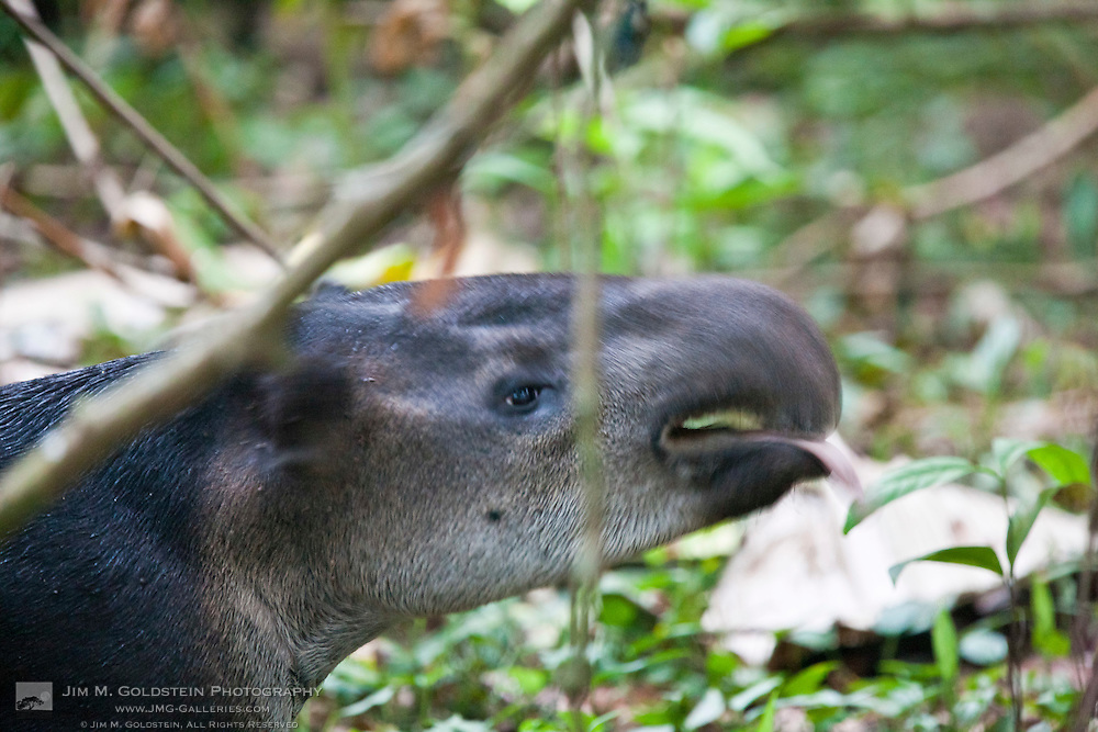 Baird's Tapir (Tapirus bairdii) exhibiting the Flehmen response by licking his nose -Corcovado National Park, Costa Rica