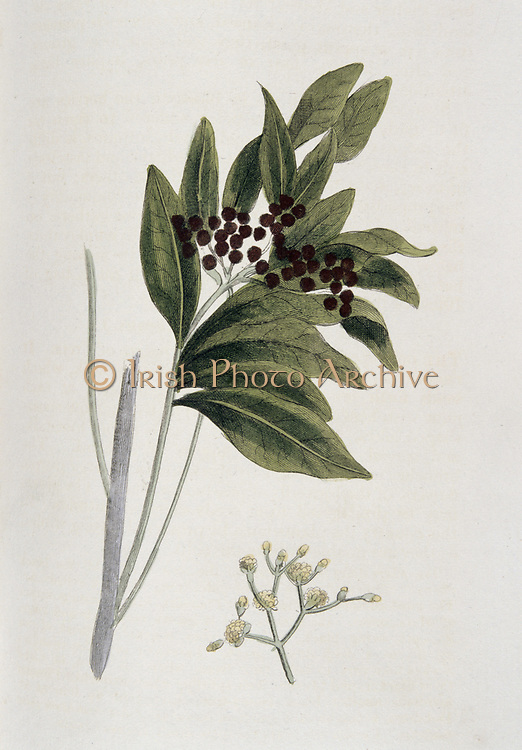 Allspice: Pimenta diocia also naked P officinalis, Native to West Indies and Central America. 1823. Berries of tree provide an aromatic spice. From 'Nature Displayed' by Simeon Shaw. (London, 1823). Hand-coloured engraving.