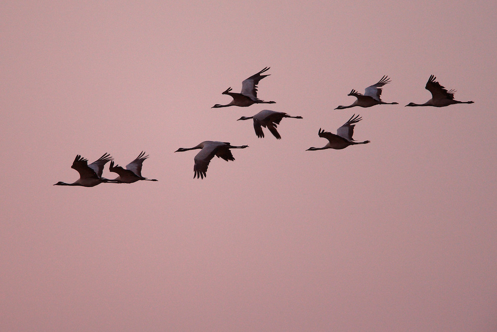 Flock of Demoiselle Cranes in flight, Bagerova Steppe, Kerch Peninsula, Crimea, Ukraine