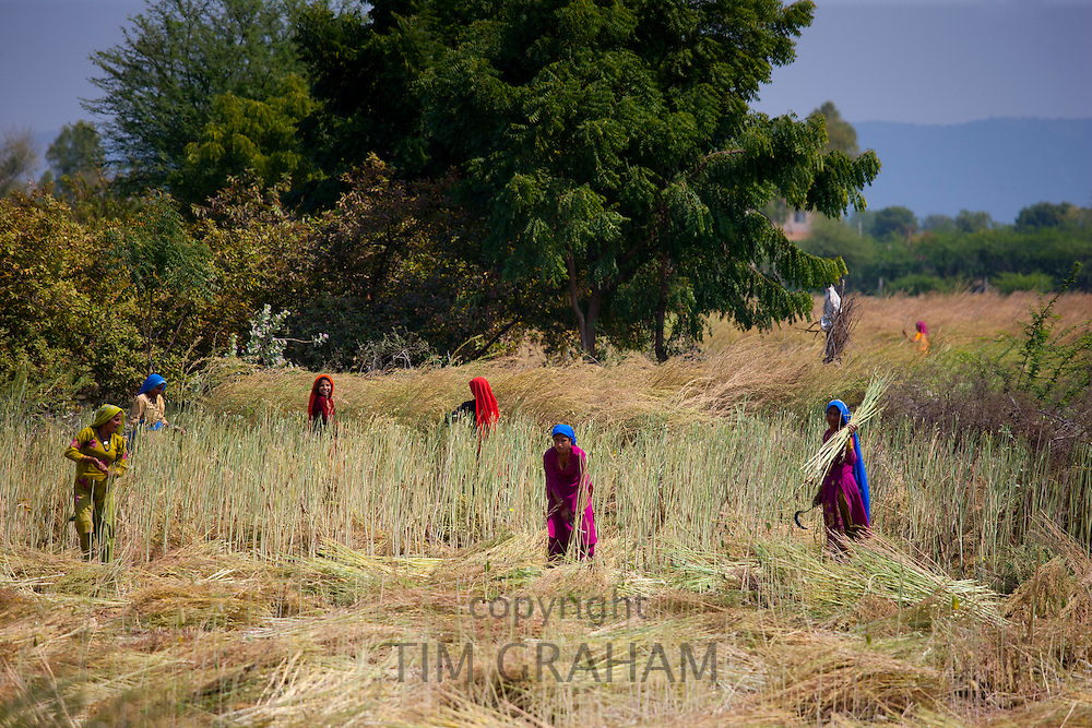 Indian women agricultural workers at farm at Sawai Madhopur near Ranthambore in Rajasthan, Northern India RESERVED USE - NOT FOR DOWNLOAD -  FOR USE CONTACT TIM GRAHAM