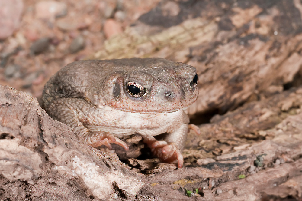 The Red-spotted toad, Bufo punctatus, is native to the southwestern United States and northwestern Mexico, especially Baja California. It is found along rocky streams and rivers in arid or semi-arid areas.