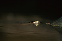 The head of a saltwater crocodile caught in the beam of a light at night.<br /> Menanggul River, Lower Kinabatangan Wildlife Sanctuary.