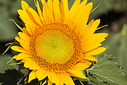 Flowering sunflower in field in morning sun near Ryeford, Queensland, Australia