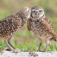 Pair of burrowing owls (Athene cunicularia) outside their burrow nest. Male owl affectionately grooms his mate. NANPA 2017 Showcase semifinalist. Denver Audubon Share the View 2016 semifinalist.